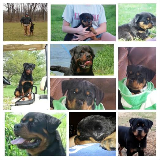 German Rottweiler Puppies For Sale,German rottweilers